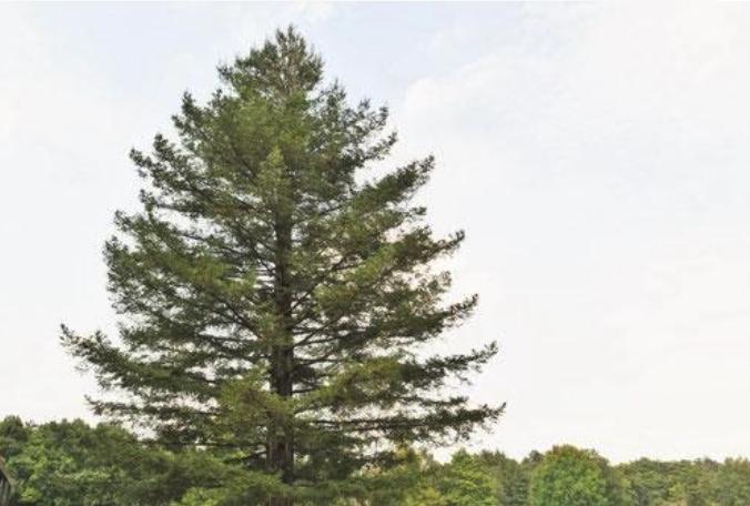 校舎中庭の巨木センペルセコイヤを伐採しました。